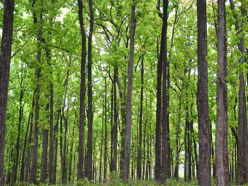 The Sal Forests at Corbett National Park