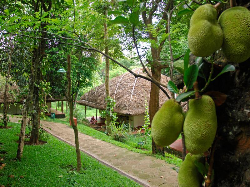 Jackfruit Trees at Spice Plantation, Periyar