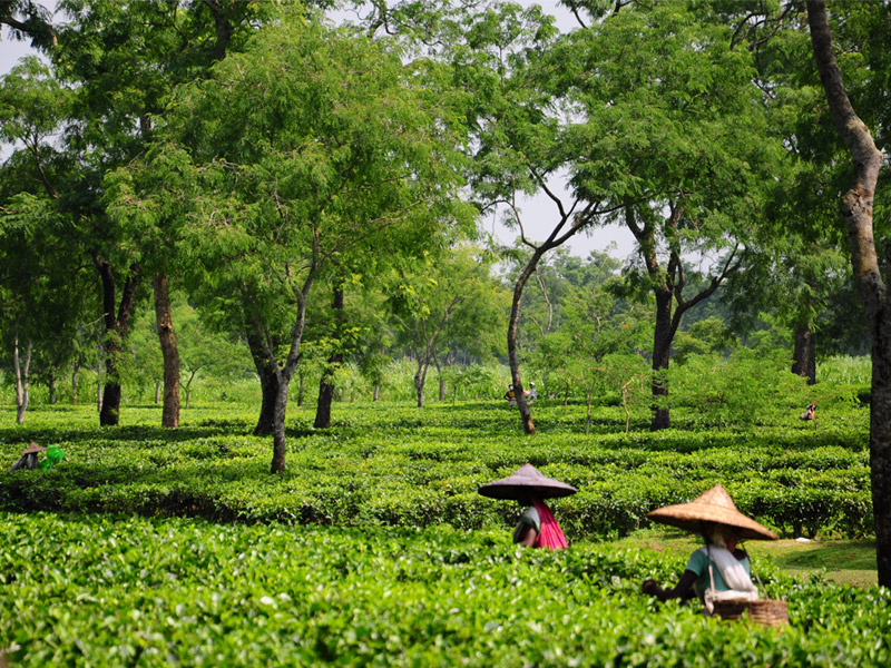 The Tea Gardens, Assam