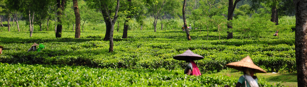 The Tea Gardens and the Tea Pickers