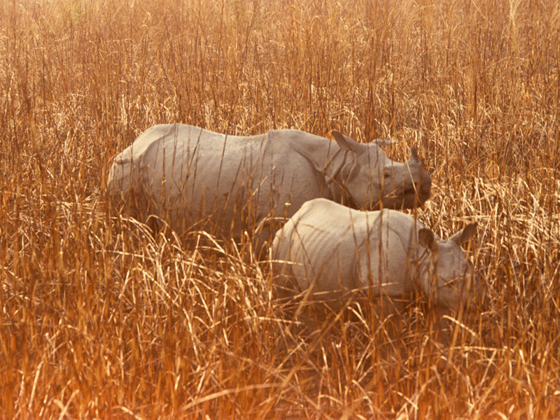 Famed One-horned Rhinocerous, Kaziranga